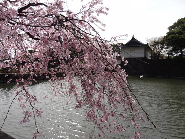 DSC00006皇居の桜1.jpg