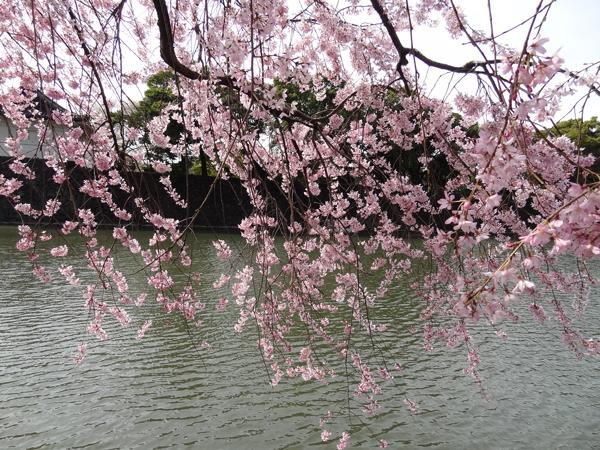DSC00007皇居の桜2.jpg