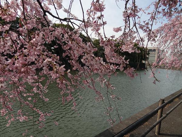 DSC00008皇居の桜3.jpg
