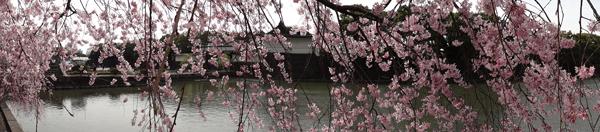 DSC00010皇居の桜4.jpg
