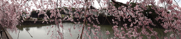 DSC00011皇居の桜5.jpg