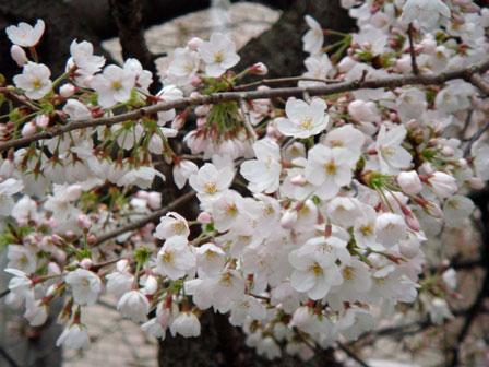 DSC01373新川の桜6.jpg