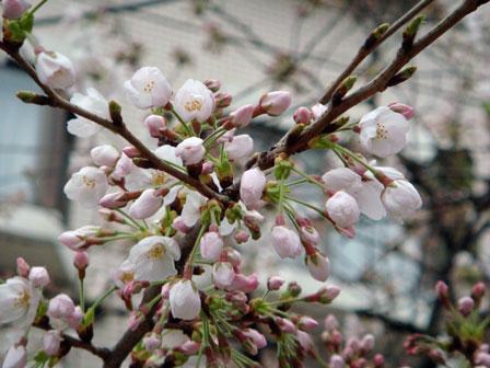 DSC01374新川の桜7.jpg