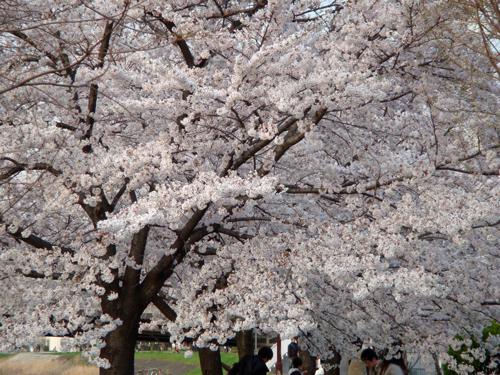 DSC01388横浜の桜1.jpg