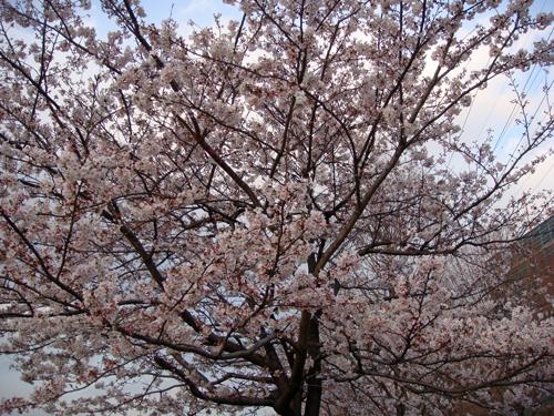 DSC01389横浜の桜2.jpg