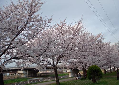 DSC01393横浜の桜6.jpg