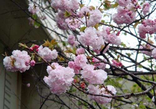 DSC01444大手町の桜1.jpg