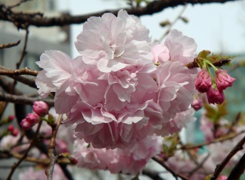 DSC01446大手町の桜3.jpg