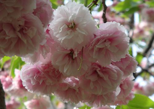 DSC01515香取神社の八重桜1.jpg