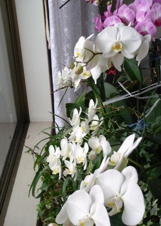 DSC01598胡蝶蘭088UP.JPG