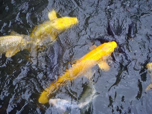DSC01935佐渡の鯉.jpg